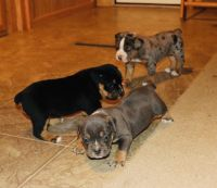 Olde English Bulldogge Puppies for sale in Anderson, CA 96007, USA. price: NA