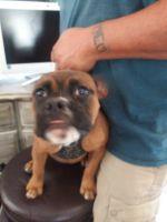 Olde English Bulldogge Puppies for sale in Lamesa, TX 79331, USA. price: NA