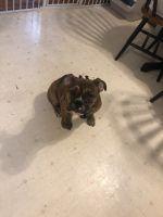Olde English Bulldogge Puppies for sale in Bayonne, NJ 07002, USA. price: NA