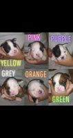 Olde English Bulldogge Puppies for sale in Ruth, MS 39662, USA. price: NA