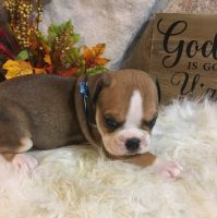 Olde English Bulldogge Puppies for sale in Chetek, WI 54728, USA. price: NA