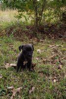 Olde English Bulldogge Puppies for sale in Dallas, TX, USA. price: NA