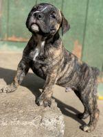 Olde English Bulldogge Puppies for sale in Kooskia, ID 83539, USA. price: NA