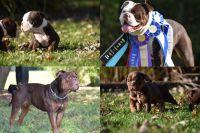 Olde English Bulldogge Puppies for sale in Malvern, OH 44644, USA. price: NA