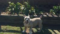 Olde English Bulldogge Puppies for sale in Florence, AL, USA. price: NA