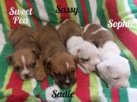 Olde English Bulldogge Puppies for sale in 14997 S Eagle Valley Rd, Tyrone, PA 16686, USA. price: NA