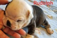 Olde English Bulldogge Puppies Photos
