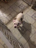 Olde English Bulldogge Puppies for sale in Topeka, KS, USA. price: NA