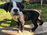 Olde English Bulldogge Puppies for sale in Randallstown, MD, USA. price: NA