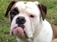 Olde English Bulldogge Puppies for sale in Knoxville, TN, USA. price: NA