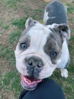 Olde English Bulldogge Puppies for sale in Allentown, PA, USA. price: NA