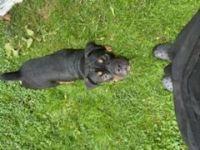 Olde English Bulldogge Puppies Photos