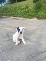Olde English Bulldogge Puppies for sale in Birmingham, AL, USA. price: NA