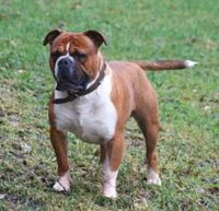 olde english bulldogge dog