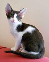 oriental bicolour cat