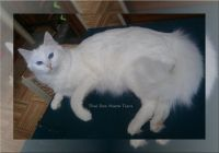 Oriental Longhair Cats for sale in Waterford Twp, MI, USA. price: NA