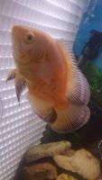 Oscar Fishes for sale in DeKalb, IL, USA. price: NA