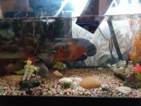 Oscar Fishes for sale in Simpsonville, SC, USA. price: NA