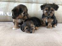 Osterreichischer Kurzhaariger Pinscher Puppies Photos