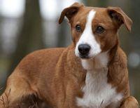 osterreichischer kurzhaariger pinscher dog