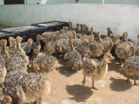 Ostrich Birds for sale in Dallas, TX, USA. price: NA