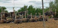 Ostrich Birds Photos