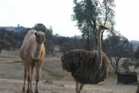 Ostrich Birds for sale in Ione, CA, USA. price: NA