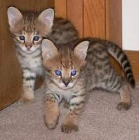 Other Cats for sale in Anchorage, AK, USA. price: NA