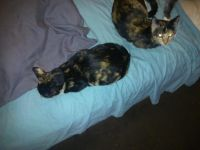 Other Cats for sale in Long Beach, CA, USA. price: NA