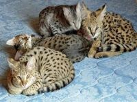Other Cats for sale in Lawton, OK, USA. price: NA