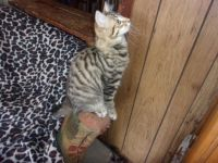 Other Cats for sale in Brevard, NC, USA. price: NA