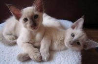 Other Cats for sale in San Bernardino, CA, USA. price: NA