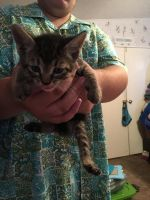 Other Cats for sale in Summerfield, FL 34491, USA. price: NA