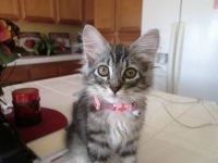 Other Cats for sale in Bolingbroke, GA, USA. price: NA