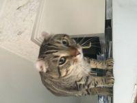 Other Cats for sale in Vicksburg, MI 49097, USA. price: NA