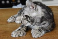 Other Cats for sale in Detroit, MI, USA. price: NA