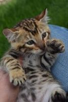 Other Cats for sale in Sacramento, CA, USA. price: NA