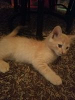 Other Cats for sale in San Francisco, CA, USA. price: NA