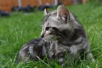 Other Cats for sale in Fresno, CA, USA. price: NA