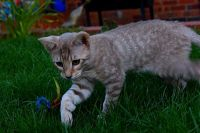 Other Cats for sale in Jeffersonville, IN, USA. price: NA