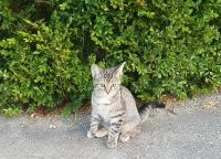 Other Cats for sale in Batavia, OH 45103, USA. price: NA