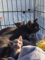 Other Cats for sale in Chicago, IL, USA. price: NA