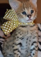 Other Cats for sale in Austin, TX, USA. price: NA