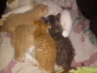 Other Cats for sale in Everett, WA, USA. price: NA