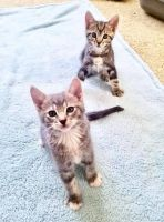 Other Cats for sale in Rocklin, CA 95765, USA. price: NA