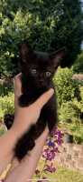 Other Cats for sale in Marysville, WA, USA. price: NA