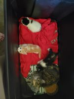 Other Cats for sale in Eldridge, MO 65536, USA. price: NA