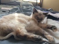 Other Cats for sale in Galt, CA, USA. price: NA
