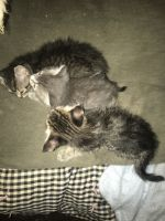 Other Cats for sale in Milwaukee, WI, USA. price: NA