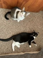 Other Cats for sale in Villa Park, IL, USA. price: NA